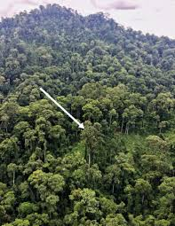 world s tallest tropical tree discovered along with nearly 50