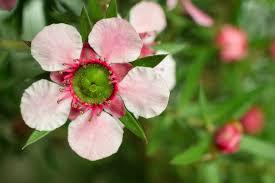 native plants to new zealand the manuka flower