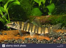 chinese golden zebra loach sinibotia robusta in home aquarium