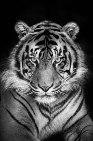 best 20 snow tiger ideas on pinterest white tiger cubs tigers