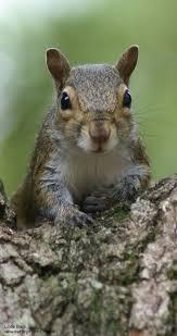377 best squirrels u003c3 images on pinterest squirrels beautiful