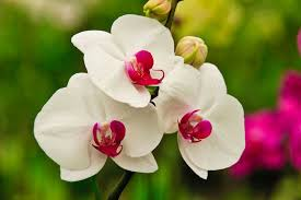 moth orchid white moth orchid hawaii pictures