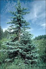 the blue spruce