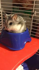1887 best hamsters images on pinterest hamsters dwarf
