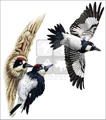 woodpeckers full color u0026 line art illustrations at inkart net