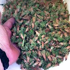 my cedar trees are loaded with bagworms how can i them