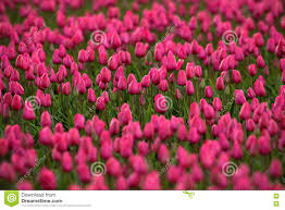 Netherlands Tulip Fields Pink Red Beautiful Tulips Field In Spring Time With Sunlight