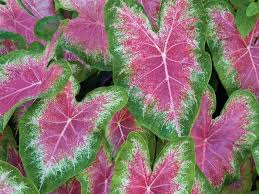 Our Favorite Plants How To by How To Grow Caladiums Southern Living