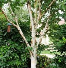 buy trees barcham trees