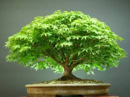 beautiful japanese maple tree seeds sold by vasuworld amazon in