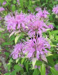 chesapeake native plants recommended native plants for maryland university of maryland
