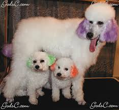 standard poodle hair styles creative grooming god s creatures