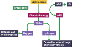 What Happens During The Light Reactions Of Photosynthesis Bbc Bitesize National 5 Biology Photosynthesis Revision 2