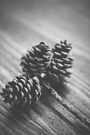 white pine cone free stock photo of black and white fir cone pine cone