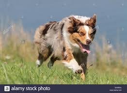 australian shepherd red merle dog australian shepherd aussie red merle running in a