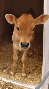 107 best mini milk cows images on pinterest cows milk and animals