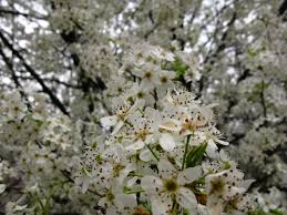 tree with white flowers white pear flowering tree trees free nature pictures by