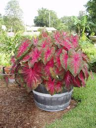 caladiums in a whisky barrel great for a shady spot where many