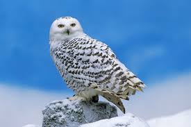 owl symbolism owl totem owl meaning owl dreams owl spirit animal
