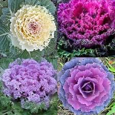 60 ornamental kale seeds brassica oleracea flowering