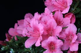 pink flower what does a pink flower gardening tips flower wiki