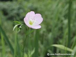 Pink Primrose Flower - showy evening primrose pictures pink evening primrose pictures