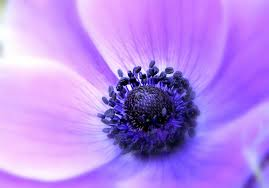 Lilac Flower by Anemone Lilac Flower Petals Soft Close Up Focus Wallpaper