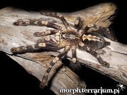 poecilotheria subfusca tarantula s are great pets