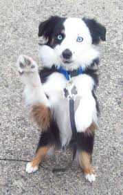 australian shepherd dog puppies best 25 miniature australian shepherd puppies ideas on pinterest