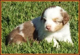 8 week australian shepherd ghost eye mini aussie avail litter 2 pup2 jessie black tri male
