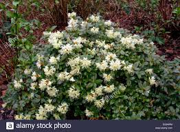 rhododendron u0027shamrock u0027 stock photo royalty free image 78758924