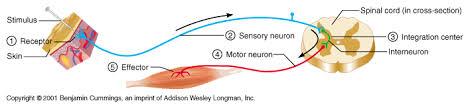 How Does A Reflex Arc Work In A Nervous System Bonggon Nervous System