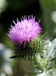 5 favorites garden friendly thistles gardenista