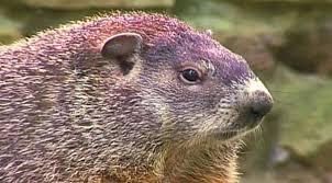 mating habits groundhogs