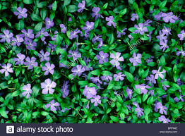 making green purple vinca minor or periwinkle blooms making a green flowered
