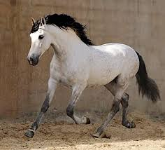 Black Mustang Horse Pictures The 25 Best Grey Horses Ideas On Pinterest Dapple Grey Horses