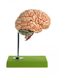 Nervous System Human Anatomy Somso Brain With Arteries Brain Head Nervous System Human