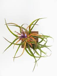 Air Plant Wall Holder Airplant Cube Indoor Plant Design U2013 Etairnity Airplants