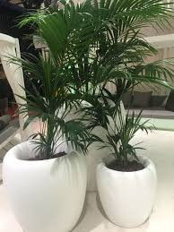 large houseplants fresh ways to decorate with houseplants