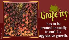 how to grow and care for the aggressive grape ivy plant