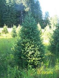 fraser fir tree wholesale fraser fir and grand fir trees for sale 20 t