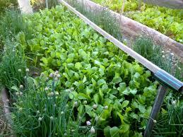 hitting 100 self sufficiency in salad greens milkwood