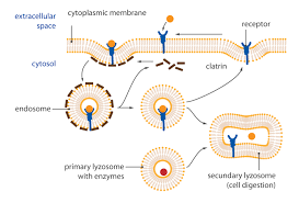 1 functional morphology of the cell u2022 functions of cells and