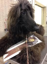 afghan hound 9 months jolie afghan hounds news