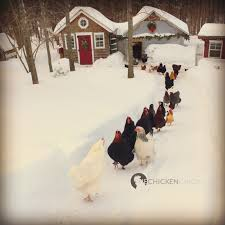 Chickens For Backyards by The Chicken Surviving Winter With Chickens