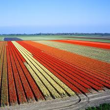 magical images of the blooming tulip farms in holland