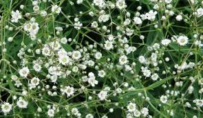 baby s breath flower decorative flowering plant gypsophila baby s breath