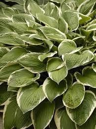 26 best garden tried u0026 true shade perennials for the midwest