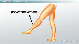 Types Meaning What Are Ligaments Definition U0026 Types Video U0026 Lesson