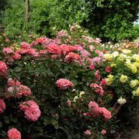 Fragrant Climbing Plant - cheap plant climbing roses free shipping plant climbing roses